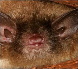 Bat control in Elizabethtown