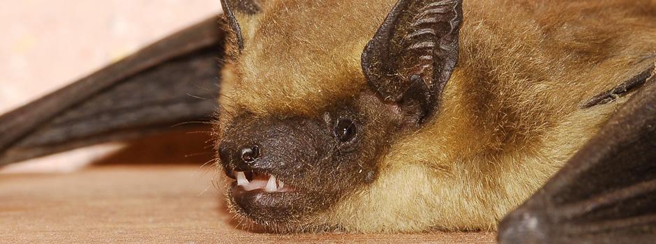 Elizabethtown Bat Control