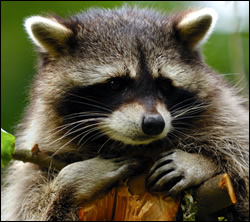 Raccoon control in Elizabethtown