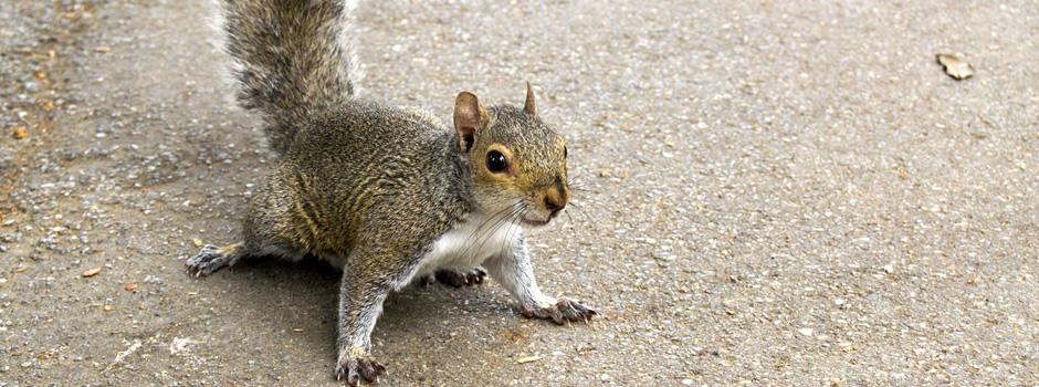 Squirrel Control Elizabethtown